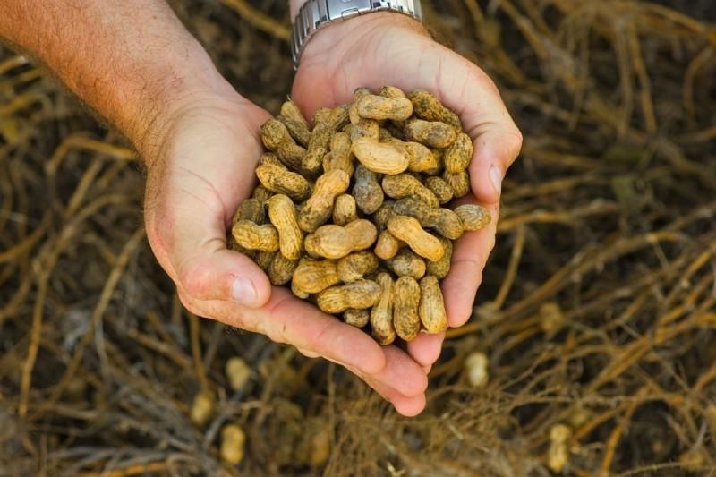 Agriculture de cacahauète